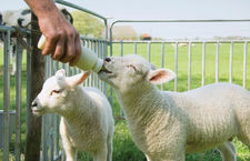 Lamb Feeders